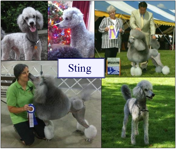 Small Standard Poodles - Sting